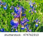 violet flowers at aberglasney... | Shutterstock . vector #474762313