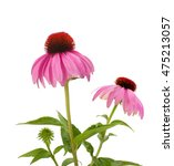 Purple Coneflowers Isolated On...