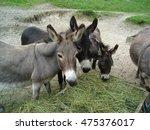 Three Donkeys Eating Hay From...