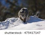 Snow Leopard Is Walking On...