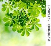 Green Chestnut Leaves In...