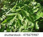 a detail of a green wallnut leaf   Shutterstock . vector #475675987