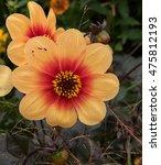single  miscellaneous  dahlia ... | Shutterstock . vector #475812193