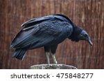 Small photo of American black vulture (Coragyps atratus). Wildlife animal.