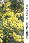Small photo of Acacia pycnantha, Beautiful golden wattle flower in Melbourne, Australia