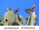 Galapagos Mockingbirds ...
