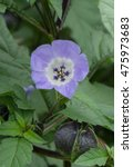 Small photo of Nicandra physalodes (Shoo Fly Plant) on an Allotment in a Vegetable Garden in Devon, England, UK