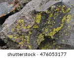 Yellow Lichens Growing On Lava...