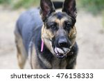 German Shepherd Dog Holding A...