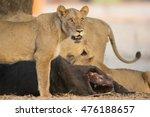 Lioness  Panthera Leo  Roaring...