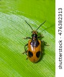 Small photo of Beetle with a Green leaf background. Family : Chrysomelidae, Subfamily : Eumolpinae