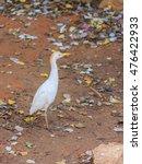 Bubulcus Ibis Walks Near The...