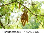 Tamarind On  Tree