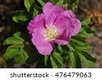 dog rose   Shutterstock . vector #476479063