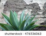 Green Agave Plant With Spiky...