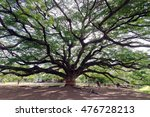 Small photo of Giant mimosa rain tree (Also called as Jamjuri, Kampoo, Chumcha, Samanea Saman, Albizia saman, Fabaceae, Neotropics, rain tree, monkeypod, Samanea Mimosa) in Kanchanaburi province, Thailand