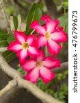 Small photo of Pink Desert Rose flower, Adenium obesum
