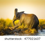 elephant playing in the mud on...   Shutterstock . vector #477021637