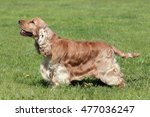 typical english cocker spaniel... | Shutterstock . vector #477036247