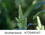 Small photo of Flowers of a red root amaranth (Amaranthus retroflexus)