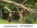 Nematode Root Knot