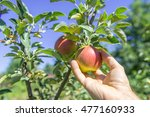 harvesting of apples in the...   Shutterstock . vector #477160933