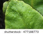 """Small photo of Hairy """"Elephant's Ear"""" fern leaf with raindrops (or West Indian Tonguefern) in St. Gallen, Switzerland. Elaphoglossum Crinitum (Syn Olfersia Crinita) is native to Mexico, Guatemala and Costa Rica."""