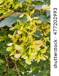 Small photo of Samara fruit of sycamore maple tree Acer pseudoplatanus