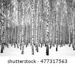 Beautiful Winter Birch Grove...
