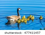 A Family Of Geese Swimming In ...