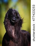 Small photo of Show dog portrait Afghan hound