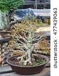 bonsai tree in pot | Shutterstock . vector #477439063