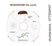 mushroom life cycle. mushrooms... | Shutterstock .eps vector #477506947