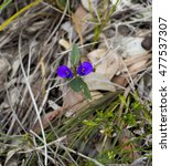 Small photo of Bright purple Holly leaved Hovea chorizemifolia West Australia native wildflower sometimes called Purple pea flowering in early spring in Manea Park, Bunbury, Western Australia.