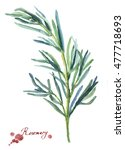 rosemary. hand drawn watercolor ... | Shutterstock . vector #477718693