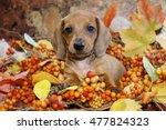 Autumn Holiday Dachshund Puppy...