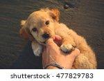 Stock photo little puppy biting on floor 477829783