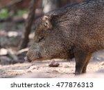 javelina or collard peccary ... | Shutterstock . vector #477876313