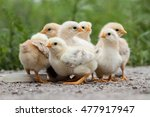 a group chick at farm.  | Shutterstock . vector #477917947