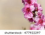 Blooming Wild Peach In The...