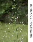 Small photo of European Water-plantain (Alisma plantago-aquatica) stem with flowers