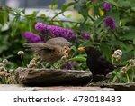 Blackbird Feeding Fledgeling