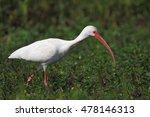 American White Ibis  Eudocimus...