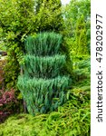 Green Trimmed Thuja   In Latin...