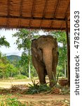 Small photo of Asian elephant eating green grass and looking at camera, surface texture background, alive wild animal, travel in Koh Chang island, Thailand. Soft focus