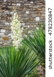 Small photo of Yucca filamentosa . Common names: Adam's needle, bayonet, bear-grass, needle-palm, silk-grass, and spoon-leaf yucca.