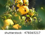 fruit chaenomeles japonica.... | Shutterstock . vector #478365217