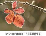 Frost Covered Leaf Backlit By...