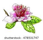 pineapple guava pink exotic...   Shutterstock . vector #478531747