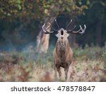 A Red Deer Calls Out During...